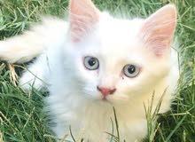 قطط للبيع شوف الوصف