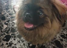 كلب فصيلة بكنيز عمره سنة وشهرين ذكر  مدرب ملقح مع دفتر التلقيحات