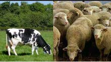 لحام جزار لذبح الغنم والبقر
