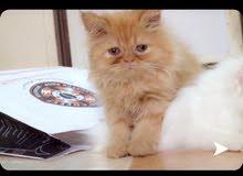 قطط صغيره جميله