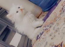 قطة هملايا شيرزاي صغيرة