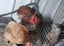 دجاج بورسلان