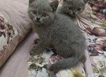 Scottish fold and British shorthair