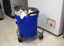 قط وقطة شيرازي مكس
