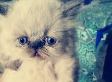 قطط هملاية بيور عدد 4