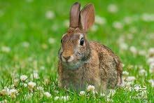 ارنب للبيع نفس اللي في الصوره تغريبن
