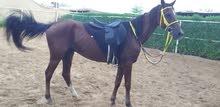 حصان خصي