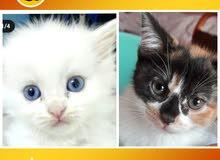 قطط شيرازي بسعر مغري
