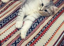Persian chinchilla male 5 month