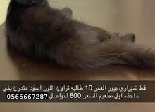 قطة للبيع (بيع مستعجل) /for sell
