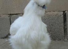 دجاجة قطني للبيع فول مواصفات