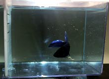 3 fighter fish for sale