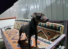 كلب ميني دوبر