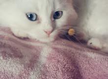 قطه شيرازي العمر ثلاث شهور ونصف