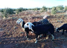 غنم قبرصي ونجدي للبيع