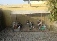 حمام كويتي وطيور بادجي للبيع مع الاقفاص