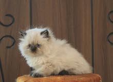 مطلوب قطط هملايا