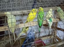 I want sell this birds