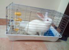 أرنب هولندي البيع