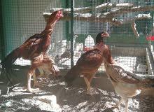 للبيع دجاج باكستاني   النوع.  شامو  الجنس. ذكر واحد وثلاث اناث  العمر. سنه ونص