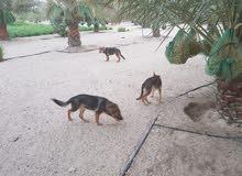 كلاب جيرمان العمر 4 شهور