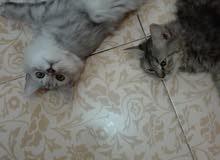 قطط شيرازيات بيور
