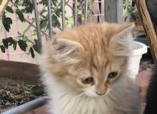 قطط شيرازي ( ذكر )1