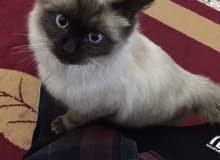 قطة سيامي