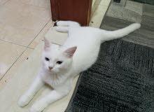 قطه شيرازي للبيع في الخبر
