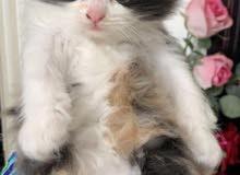 للبيع قطه صغيره شيرازيه تركيه