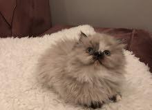 قطط هملايا الاحساء والدمام والخبر