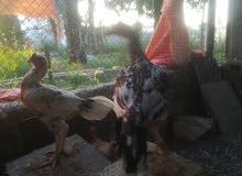 دجاج باكستاني سندي للبيع عمر الانتاج