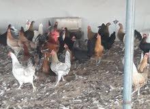 للبيع دجاج عماني بياض
