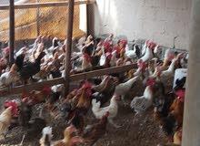 دجاج محلي