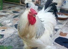 دجاج براهما دكتوره لايت ديك ودجاجتين بياظات بسعر مناسب الجاد يتصل