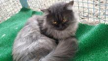 قطه شيرازيه اصل