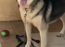 Siberian Husky Male one year old Fully Vaccinated (Price is Negotiable)
