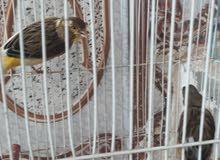 طيور كناري مبزرات