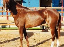 حصان قدره خصي جنوب أفريقي مع الجواز للبيع