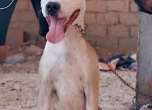 كلب بيتبول عمرو5شهور