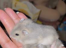 هامستر روسي قزم hamster for adoption