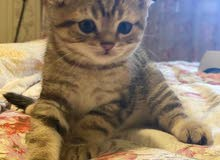 Scottish fold kittens سكوتش فولد