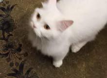 قطة بيضاء للبيع في لبنان طرابلس