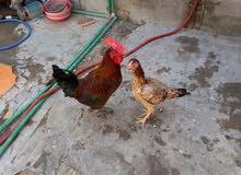 ديج عربي ودجاجه