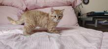 (Kitten for sale (UPDATE -  قط للبيع اورانج ماين كوون مكس (تحديث - فقط متوفر قط واحد)