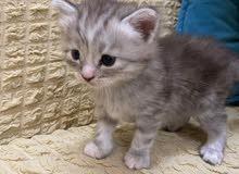 قطة انثى رمادية