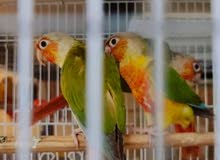 pineapple conure red factor pair