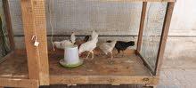 cage for hen / birds قفص للدجاجة / الطيور