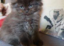 قط بني الاب والام قط روسي ازرق سعره 900 عمره شهرين