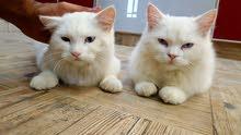 قطط شيرازي للبيع ذكر وانثى